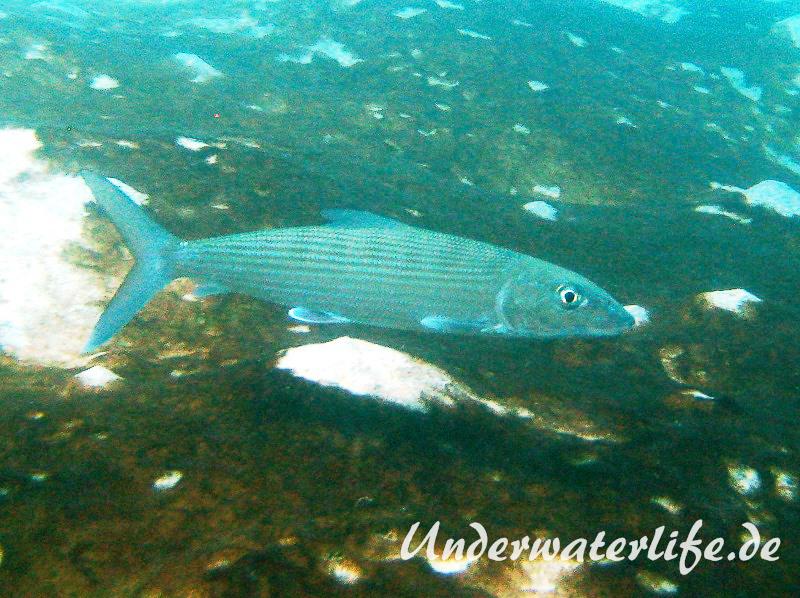 Graetenfisch_adult-Karibik-2014-001