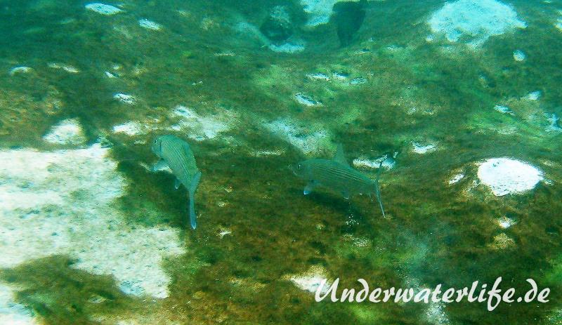Graetenfisch_adult-Karibik-2014-002