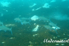Graetenfisch_adult-Karibik-2014-003