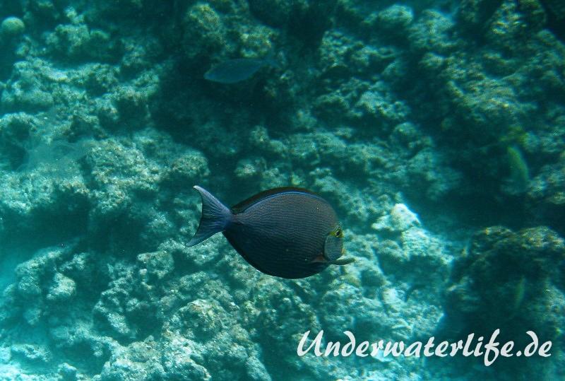 Grauer-Doktorfisch_adult-Malediven-2013-01