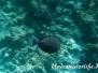 Grauer-Doktorfisch (Acanthurus mata)