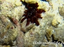 Griffel-Seeigel (Heterocentrotus mamillatus)