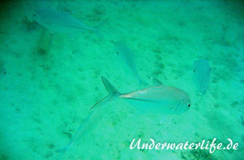 Grossaugen-Stachelmakrele_adult-Malediven-2013-03