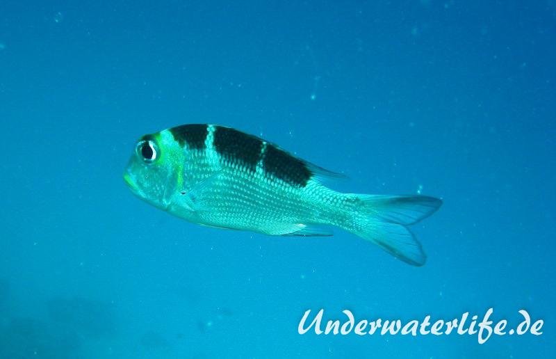Grossaugen-Strassenkehrer_juvenil-Malediven-2013-01
