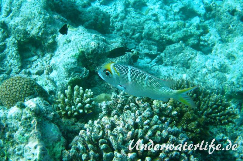 Grossaugen-Strassenkehrer_subadult-Malediven-2013-02
