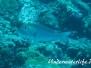 Großaugen-Straßenkehrer (Monotaxis grandoculis)