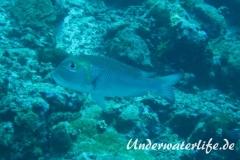 Grossaugen-Strassenkehrer_adult-Malediven-2013-01