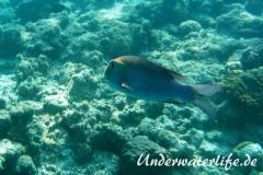 Grossaugen-Strassenkehrer_adult-Malediven-2013-02