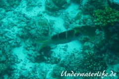 Grossaugen-Strassenkehrer_subadult-Malediven-2013-01