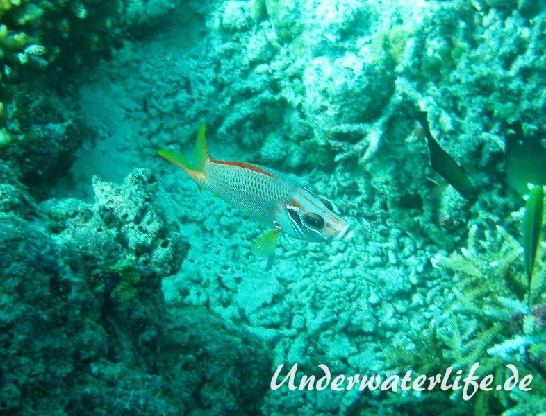 Grossdorn-Husar_adult-Malediven-2013-02
