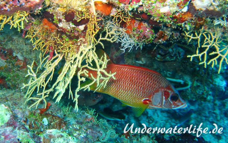 Grossdorn-Husar_adult-Malediven-2013-03