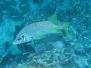 Indik Husarenfische-Holocentinae-Squirrelfishes