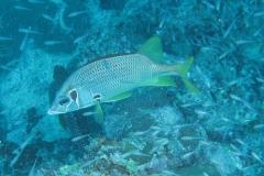 Grossdorn-Husar_adult-Malediven-2013-01