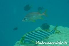 Grossdorn-Husar_adult-Malediven-2013-04