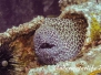 Große Netzmuräne (Gymnothorax favagineus)