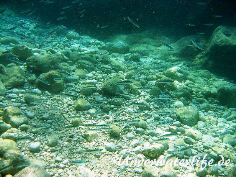 Grosser Aehrenfisch_adult-Dubrovnik-2015-007