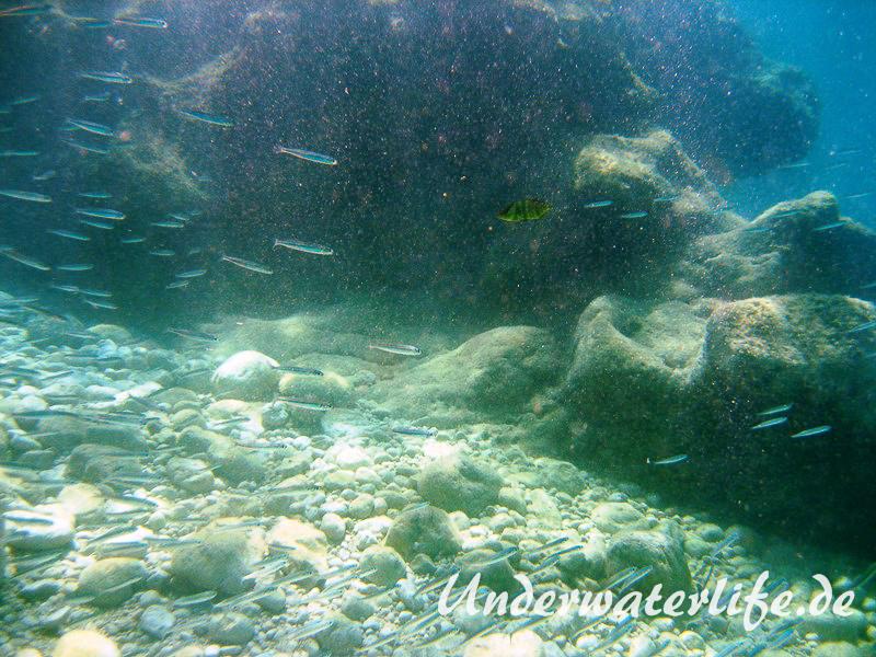 Grosser Aehrenfisch_adult-Dubrovnik-2015-008