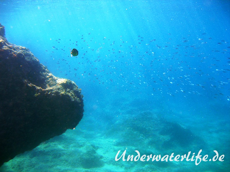 Grosser Aehrenfisch_adult-Dubrovnik-2015-010