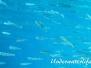 Großer Ährenfisch (Atherina hepsetus)