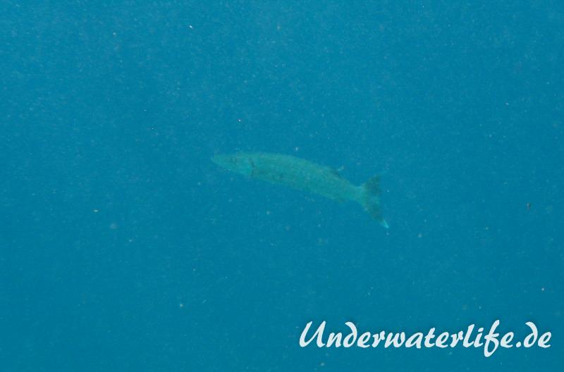 Grosser Barrakuda_adult-Karibik-2014-005