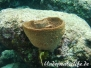 Großer Vasenschwamm (Xestospongia testudinaria)