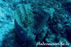 Grosser Vasenschwamm_adult-Karibik-2014-004