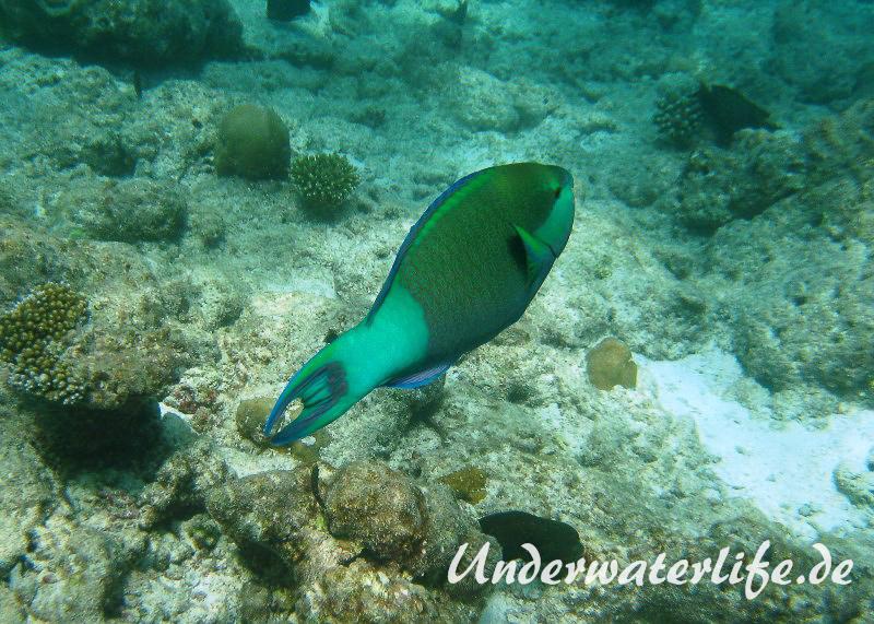 Gruenbuerzel-Papageifisch_adult-Malediven-2013-01