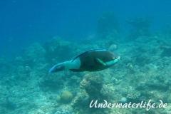 Gruenbuerzel-Papageifisch_adult-Malediven-2013-02