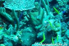 Gruene Muraene_adult-Karibik-2014-002
