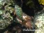 Grüner Papageifisch (Sparisoma viride)
