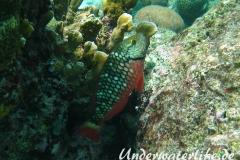 Gruener Papageifisch_maennchin-adult-Karibik-2014-001