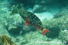 Gruener Papageifisch_maennchin-adult-Karibik-2014-002