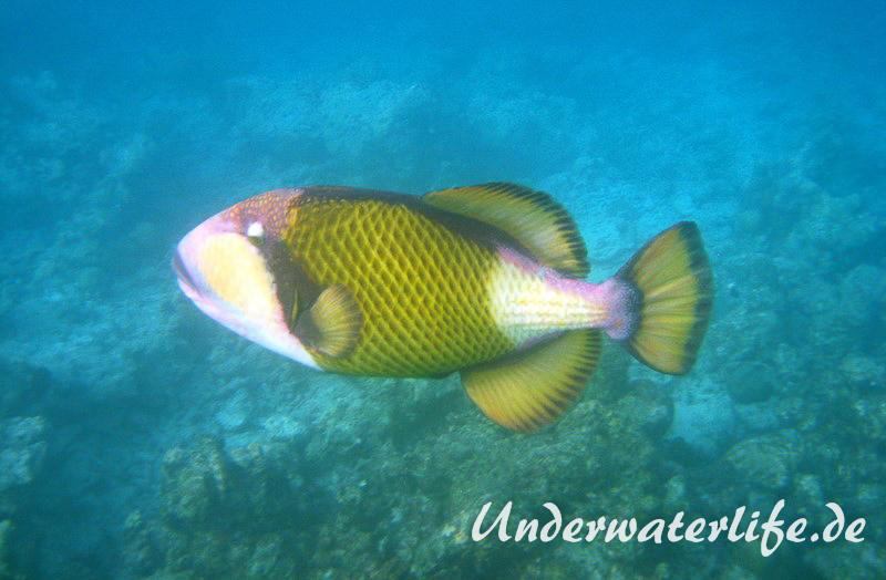 Gruener-Riesendrueckerfisch_adult-Malediven-2013-01