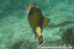 Gruener-Riesendrueckerfisch_adult-Malediven-2013-02
