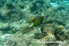 Gruener-Riesendrueckerfisch_adult-Malediven-2013-03
