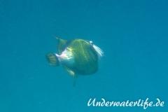 Gruener-Riesendrueckerfisch_adult-Malediven-2013-04