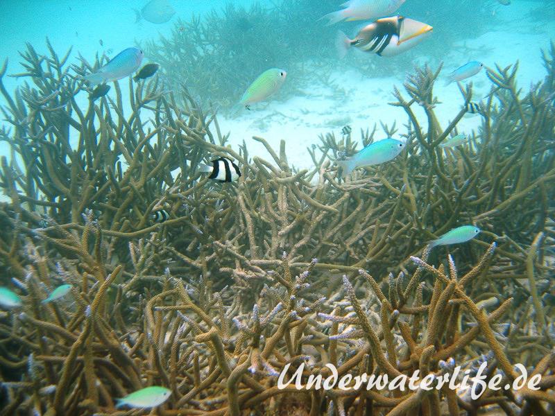 Gruener Schwalbenschwanz_adult-Malediven-2013-02