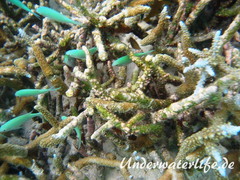 Gruener Schwalbenschwanz_adult-Malediven-2013-04