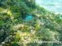 Grüner Schwalbenschwanz (Chromis viridis)
