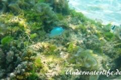 Gruener Schwalbenschwanz_adult-Malediven-2013-01
