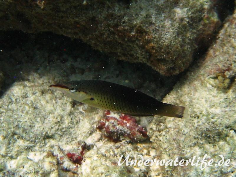 Gruener-Vogelfisch_adult-Weibchen-Malediven-2013-01