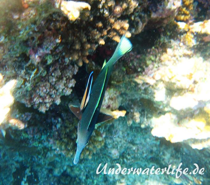 Gruener Vogelfisch_adult_Männchen-Marsa alam-2012-1