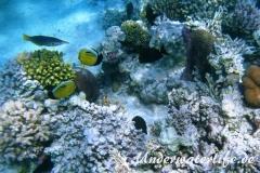 Gruener Vogelfisch_adult_Weibchen-Marsa alam-2012-1