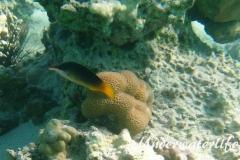 Gruener Vogelfisch_adult_Weibchen-Marsa alam-2012-3