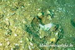 Grundel-Amblyeleotris latifasciata_adult-Thailand-2017-002