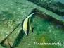 Halfterfisch (Zanclus cornutus) Indopazifik