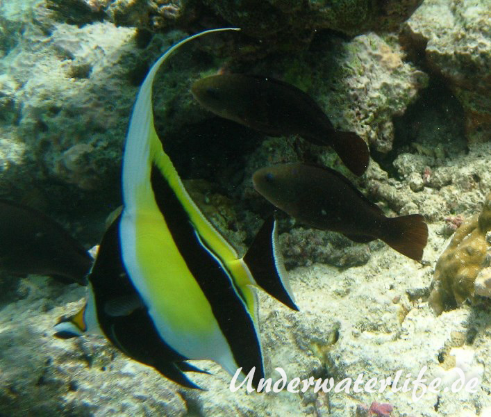 Halfterfisch_adult-Malediven-2013-01