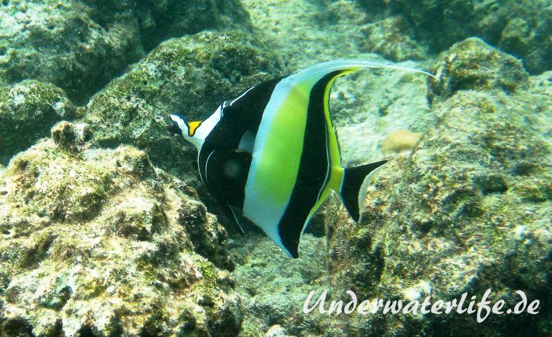 Halfterfisch_adult-Malediven-2013-03