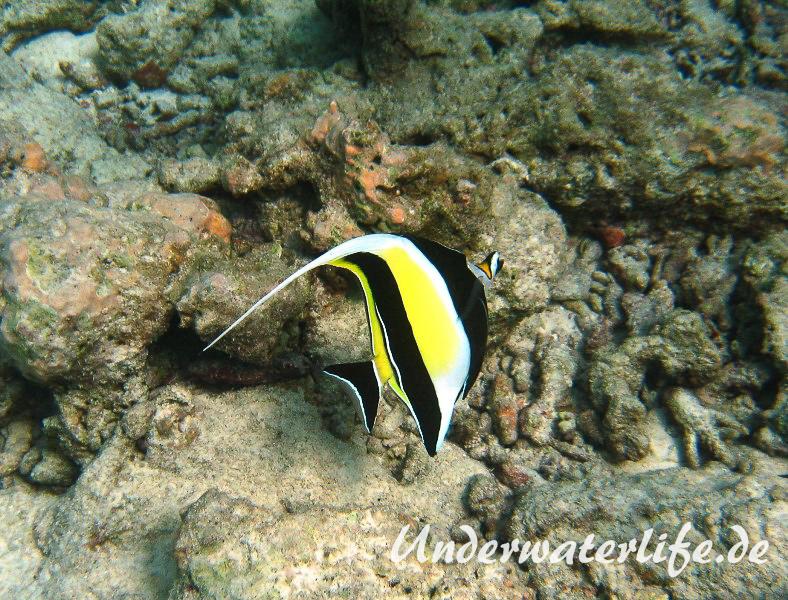 Halfterfisch_adult-Malediven-2013-04