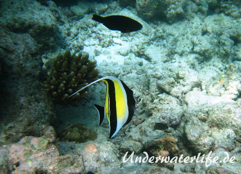 Halfterfisch_adult-Malediven-2013-05